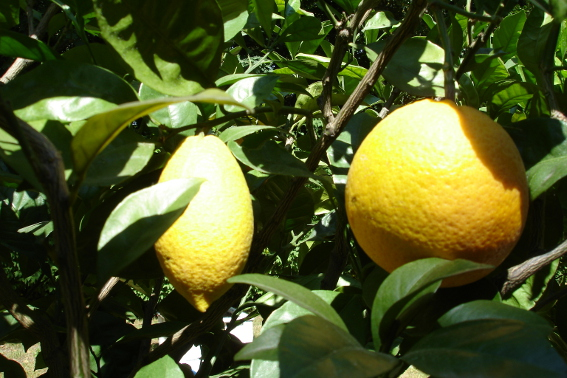 The orange consumption in Europe is around 20 kg per head and year. It is highest in France with more tahn 110 kg per head and year. (eurostat) Not all edible organics can be consered as a bioresource. This citrones grow in Oranienbaum / Germany for decorative purposes.